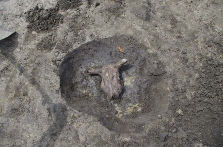 Ritually buried Bovid heads found
