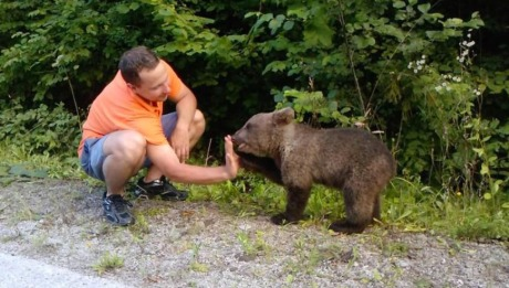 Hungry bear cub outside village of Kuterevo to  find a home as the Bear Rescue