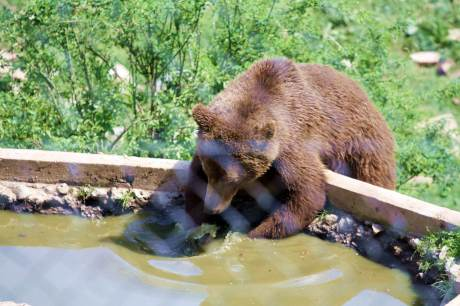 Brown Bear Kuterevo Bear Refuge Enjoying the pond made especially for the bears
