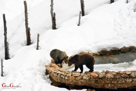 In winter, before they go away to sleep - checking the frozen pond at Kuterevo Bear Rescue